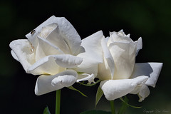 Roses blanches_6251 (Luc Barré) Tags: rose rosier rosiers jardin fleur fleurs garden flower flowers france losse estampon