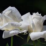 Roses blanches_6251 thumbnail