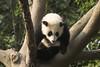 Giant Panda. (richard.mcmanus.) Tags: giantpanda chengdu china animal mammal wildlife mcmanus sichuan bear