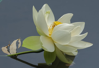 White Lotus : Purity