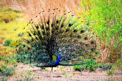 A Welcom for Monsoon (R. S.) Tags: peacock iridescent dance indianpeacock monsson rain preen mating bird natgeo india wild nature blue green feathers plume