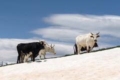 Bulls alon the trail to Koruldi Lakes, Georgia