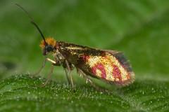 Micropterix tunbergella (chug14) Tags: macro insecte animalia arthropoda hexapoda insecta lepidoptera micropterigidae micropterixthunbergella tineatunbergella micropterixtunbergella unlimitedphotos