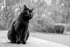 Neighbourhood watch (pwendeler) Tags: cat blackcat katze happycaturday animal pet tier bw schwarzweis sony sonyalphaa6500 schwarzekatze gato chat gatopreto bichano sorte beleza nature feline