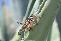 White-faced Bush Cricket (Ralph J Clark) Tags: whitefacedbushcricket madeira sigma105mmf28exdgmacroos