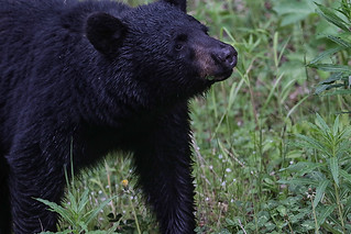Black Bear with mouthful of Dandelions