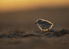 Peep Glow (T L Sepkovic) Tags: pipingplover plover peep shorebird sunrise glow backlit backlighting beac shore goldenhour canon 5dmkiv teamcanon lenscoat