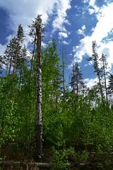 Birch snag (МирославСтаменов) Tags: russia togliatti cloudscape snag birch greenery understory