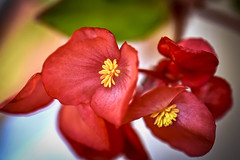 macro - Fleur rouge pistil jaune (thierrybalint) Tags: pistil flore nikon nikoniste flora flower