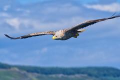 White-tailed sea eagle (Margaret S.S) Tags: white tailed sea eagle isle mull scotland raptor