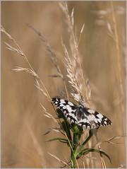 LR7-PGH51747 (JB89100) Tags: 2018 insectes natura2000 papillons stmartindt ou quoi