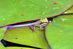 Cliche (TJ Gehling) Tags: amphibian frog chorusfrog treefrog pacificchorusfrog pseudacris pseudacrisregilla plant flower nymphaeales nymphaeaceae waterlily lilypad cemetery sunsetviewcemetery kensingtonca elcerrito