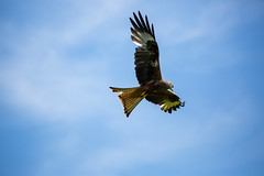089A8182-2 (Paul Robinson Photography UK) Tags: wildlife bird prey red kite nature wales