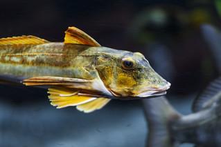 Brown green fish