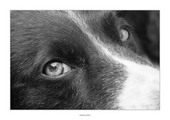 Dedicated to Zéé, Troika and Tasha (AnthonyCNeill) Tags: dog hund perro chien animal tier pet eye contact black white schwarz weiss blanco negro blanc noir closeup macro lens sharp focus portrait nikon d750 60mm