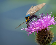 Tigermoth Ctenuchina (claudiaulrikegoodall) Tags: tigermoth ctenuchina