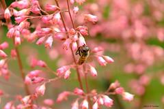 La vie en rose (jpto_55) Tags: abeille fleur bpkeh xe1 fuji fujifilm fujixf1855mmf284r commercy meuse lorraine france