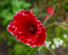Vurig rood (~~Nelly~~) Tags: papaver coquelicot poppy rood rouge red