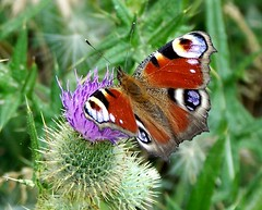 Peacock On Thistle (ERIK THE CAT Struggling to keep up) Tags: littleheath staffordshire butterflies lepidoptera toft peacock ngc npc