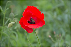 Red Poppy 2 (Mabacam) Tags: 2018 london richmond richmonduponthames flower red poppy papaveraecea flaura nature outdoor colour