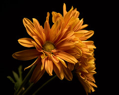 First Place 1110 (Tjerger) Tags: nature flower flowers bloom blooms blooming daisy daisies plant natural flora floral blackbackground portrait beautiful beauty black orange green fall wisconsin macro closeup yellow firstplace