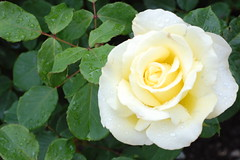 White Rose (basswulf) Tags: rose flower d40 50mmf18e lenstagged unmodified 32 image:ratio=32 camerasetting:aperture=f8 permissions:licence=c plantdb:family=pending 20180616 201806 3008x2000 rhs rosemoor rhsrosemoor devon england uk garden