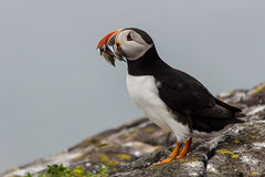 Puffin (jonathan.scaife81) Tags: puffin fish sea seabird black white beak isle may firth forth fife anstruther scotland canon 650d sigma 150500 150500mm rocks