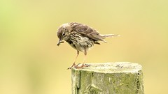 Meadow pipit- (Mick Lowe) Tags: anthus pipit post grubs perched pratensis meadowpipit nature