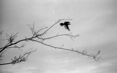Flight Test (PositiveAboutNegatives) Tags: leica m3 rangefinder vintagecamera leicam3 leitz 50mmsummicrondr dualrange 50mm yellowfilter film analog bw blackandwhitefilm foma fomapan fomapan100 foma100 kodak d76 birdinflight florida