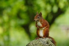kleine zufriedene Dreckschnute (lebastian) Tags: panasonic eichhörnchen dmcgx8 lumix g vario 100300f4056ii squirrel