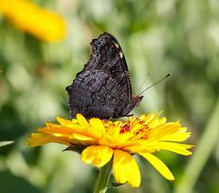 Butterfly (LuckyMeyer) Tags: flower fleur blume blüte butterfly schmetterling yellow makro