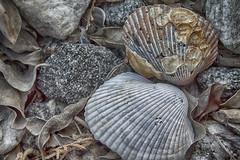 Rocks, Shells, and Leaves in HDR (Thomas Vasas Photography) Tags: nature abstract macro rocks shells leaves columbus georgia