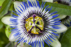 Summer with flowers. 012 (George Ino) Tags: copyright georgeino georgeinohotmailcom thenetherlandshollandnederland utrecht natuurnaturenatur bloemen flowers passieflora passievrucht macro makro dofbokeh depthoffield sunny zonnig passiflora passievruchtbloem blue blauw bleu pcaerulea passifloracaerulea