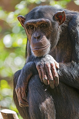 Calm chimpanzee (Tambako the Jaguar) Tags: chimpanzee monkey ape primate portrait posing sitting thinking loroparque tenerife spain nikon d5
