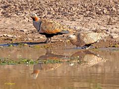 Ganga ortega (Pterocles orientalis) (43) (eb3alfmiguel) Tags: aves esteparias pteroclidiformes pteroclidae ganga ortega pterocles orientalis