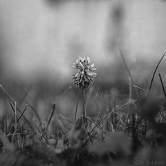 White clover (Geir Bakken) Tags: clover flower nature macro papernegative mamiya rb67 analog blackandwhite bw perfectbeauty
