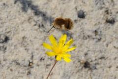 Bombylius minor (lloyd177) Tags: bombylius minor dorset fly studland nature reserve