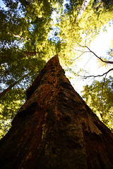 Redwood (supercell70) Tags: tree wood forest forests nature green brown redwood redwoods