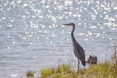 Poppenweiler (Szemifoto) Tags: bird nature water