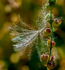 Misty Teasel. (Omygodtom) Tags: macro mist dew tamron90mm tamron dof bokeh natural nikon scene abstract nikkor flower flickriver outside