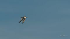 _DSC3552.jpg (fotolasse) Tags: sonyölandormvråkfåglar öland natur kalmar ottenby långejan fyr canon sony bird birds fåglar vatten hav water sea sweden sverige