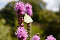 Cabbage White butterfly on Liatris (Richard Gouw) Tags: flower bloom blossom summer cabbage white butterfly liatris botanical garden arboretum wageningen dutch nl