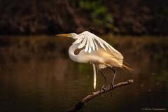 Taking Off (hey its k) Tags: 2018 birds egret greategret grindstonemarsh hamilton nature valleyinnrd burlington ontario canada ca img3646e canon6d tamron 150600mm