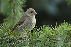 Greenfinch (Edwyn Anderton) Tags: greenfinch juvenilegreenfinch peakdistrict longshaw longshawestate padleygorge padley