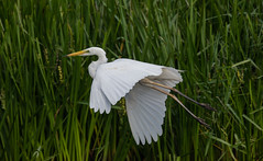 Great White Egret 15-07-2018-1600 (seandarcy2) Tags: herons birds wildlife bif greatwhite egret marsh fenland somerset levels