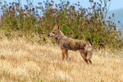 Coyote #111 (lennycarl08) Tags: pointreyesnationalseashore pointreyes coyote wildlife animalplanet animals