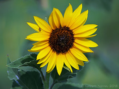COMMON SUNFLOWER 8 (k.nanney) Tags: sunflower commonsunflower kansassunflower greatsunflower helianthusannuus northcentraltexas flower wildflower texaswildflowers villagecreekdryingbeds arlington texas tx tarrantcounty microfourthirds olympus ep5 olympuspen panasonicmicrofourthirds lumixgvario45200mmf456ii panasonic45200mmf4056ii kennethnanney kennanney nanney