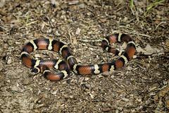 Scarlet King Snake 05 (Scott Sanford Photography) Tags: 80d canon ef100400mmf4556lii eos kingsnake naturalbeauty naturallight nature outdoor redandblack texas topazlabs wildlife reptile snake