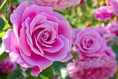 Pink Rose / Rózsaszín rózsa (A. Meli) Tags: rose pflanze rózsa növény plant plantae mai május tavasz pink rosa rózsaszín