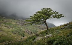 Tree - Llanberis Pass (Nick Livesey Mountain Images) Tags: